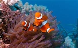 Подводный мир, красивая рыба-клоун