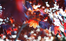 Preview wallpaper Autumn leaves, red maple leaves