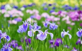 Schöne iris blumen im sommer hintergrundbilder bilder fotos