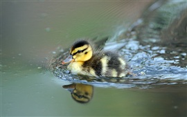 Cute little duck swimming