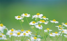 Daisies white flowers, nature summer, green background