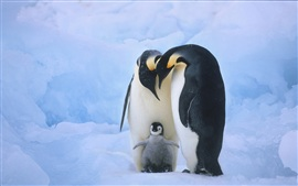 Family members of the penguins