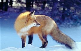 Golden fox in the winter snow