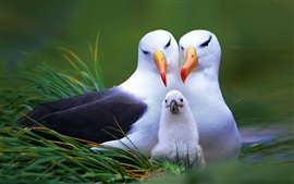 Preview wallpaper Gull family
