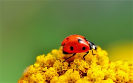 Preview wallpaper Ladybug yellow flowers
