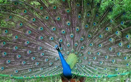 Peacocks in full display