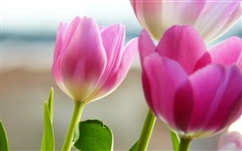 Preview wallpaper Pink tulip flower close-up photography