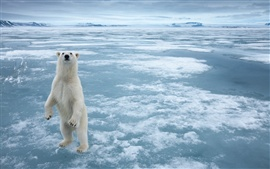 Polar bear in the cold Arctic ice