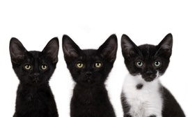Three small black cat