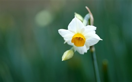 A white daffodil macro close-up