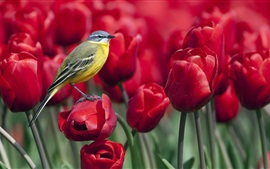 Bird standing on a red tulip flower