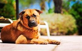 Marrom do cão no sol