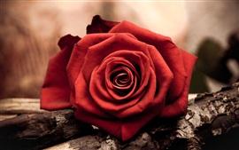 Close-up de uma rosa vermelha flor