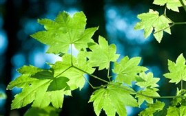 Preview wallpaper Fresh green leaves of a maple tree close-up