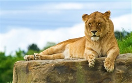 Preview wallpaper Lion lying on a stone