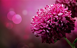 Preview wallpaper Purple flowers, chrysanthemum petals close-up