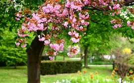 Spring park tree, pink flowers in full bloom
