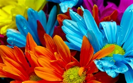 The bright colorful of chrysanthemum petals
