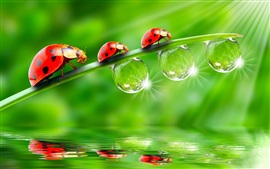 Preview wallpaper Three ladybugs on green leaves, drops of water