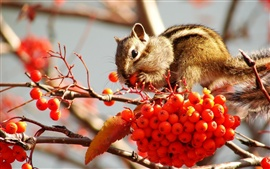 Preview wallpaper Chipmunk eat small red berries