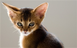 Long ears cat close-up