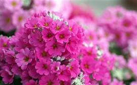 Pink phlox flores macro
