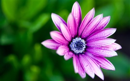 Purple flower petals, blue flower core, morning dew