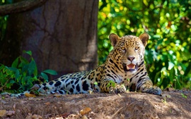 The carnivores jaguar rest in the shade