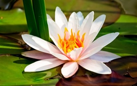 Preview wallpaper Water lily, white petals macro