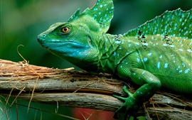Green lizard, chameleon
