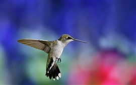 Hummingbird flight close-up, colorful blurred background