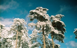 Preview wallpaper Pine trees frost in snow winter, blue sky