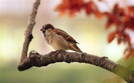 Sparrow fotografía en primer plano, fondo borroso