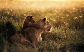 Le lion prairies au coucher du soleil