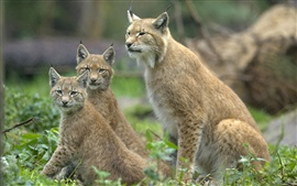 Preview wallpaper Three wild lynx cat, eyes looking