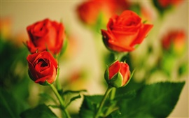 Warm flowers, red roses budding