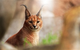 Aperçu fond d'écran Caracal close-up