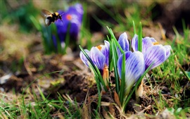 Preview wallpaper Crocuses, bee, spring