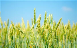 Поле пшеницы, свежей зелени, голубого неба