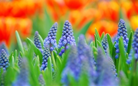 Muscari, blue flowers, blurred photography