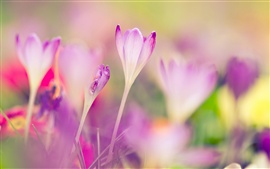 Preview wallpaper Pink crocuses, blurred background