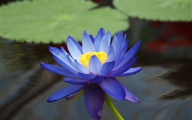 Preview wallpaper The blue water lilies close-up photography