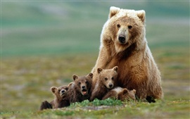 Preview wallpaper The family photo of the brown bears