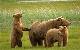 Tres osos en la hierba