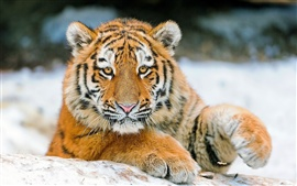 Preview wallpaper Tiger's face, eyes, claws, close-up