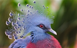 Preview wallpaper Victoria Crowned Pigeon, blue feathers