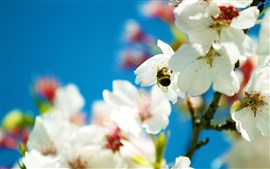 Preview wallpaper Bee and snow-white pear flowers