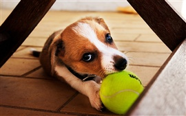 Preview wallpaper I retrieve the ball, the dog close-up