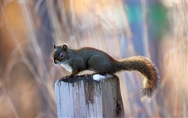 Preview wallpaper Little squirrel on a tree stump, blurred background