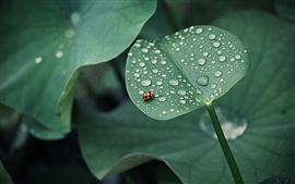 Preview wallpaper Lotus leaf, ladybug, drops of water, insects, green